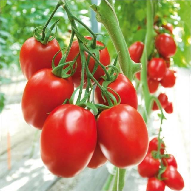 Томат руслан: характеристика и описание сорта, урожайность с фото