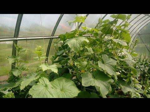 Выращивание и формирование пучковых огурцов в теплице и открытом грунте