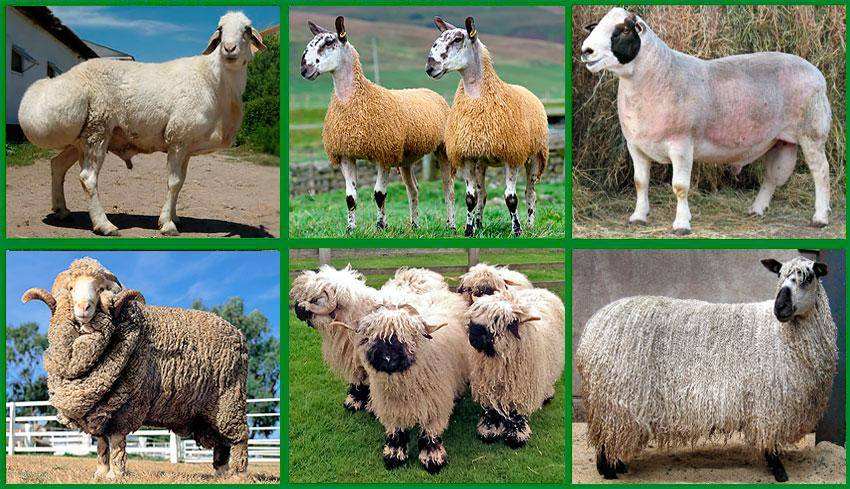 Описание и характеристика овец ташлинской породы, правила содержания