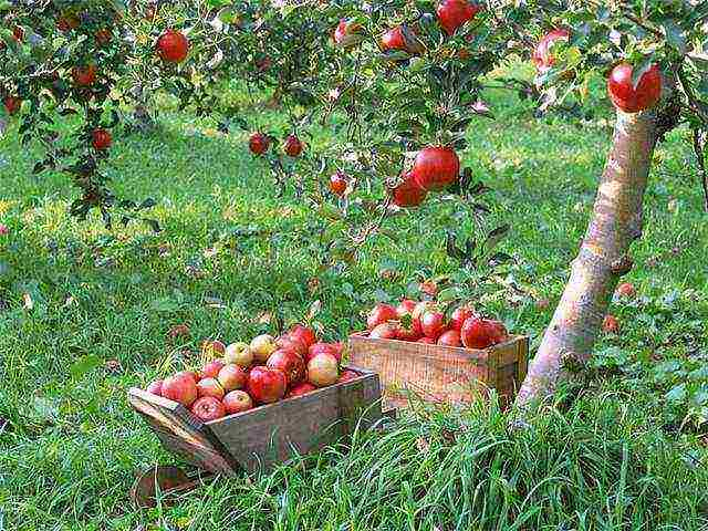 Полукультурная яблоня юнга: фото и описание сорта
