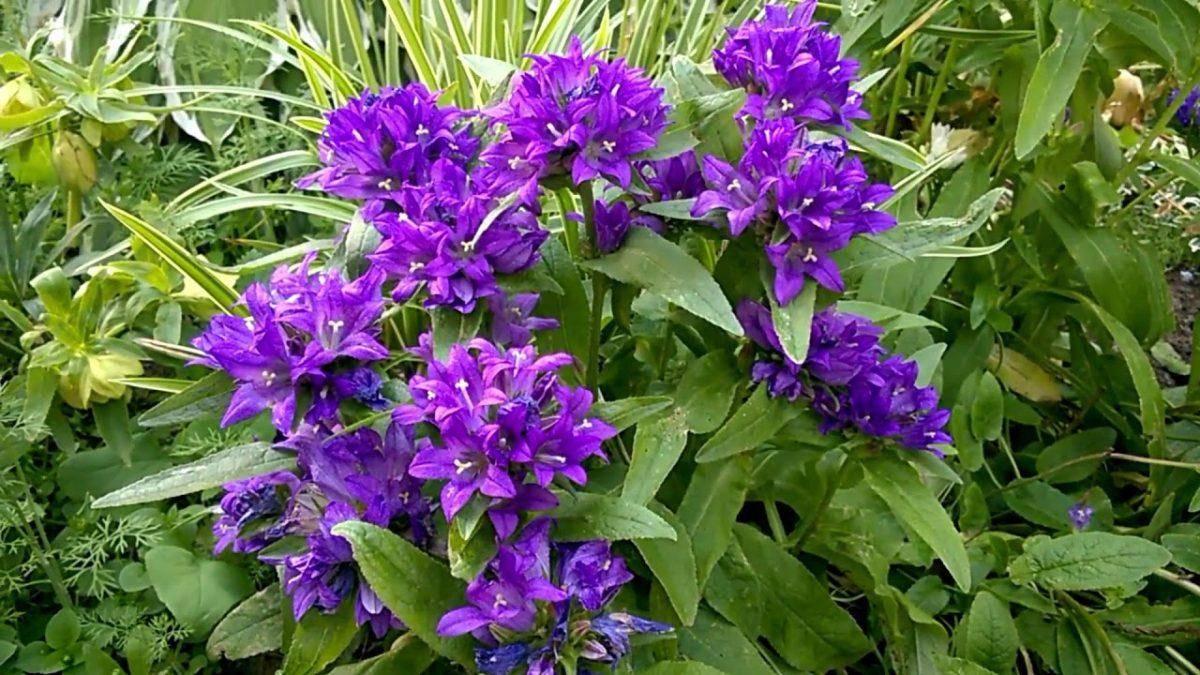Цветы для сада: посадка и уход за колокольчиком персиколистным