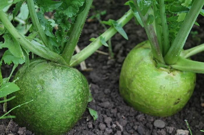Разновидности зеленой редьки. польза и вред корнеплода, особенности его употребления и выращивания