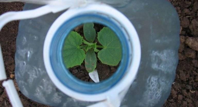 Выращивание огурцов в пластиковых бутылях