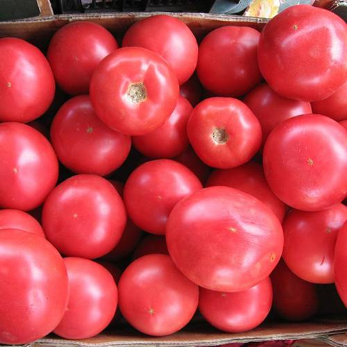 Лучший скороспелый сорт по мнению дачников — томат «король ранних»: чем так хорош и почему его стоит выращивать
