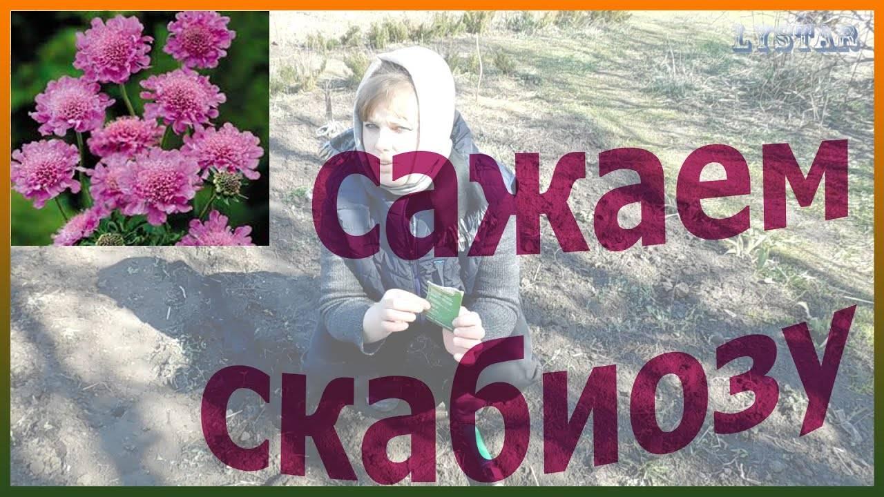 Скабиоза (scabiosa) многолетняя, пурпурная, кавказская