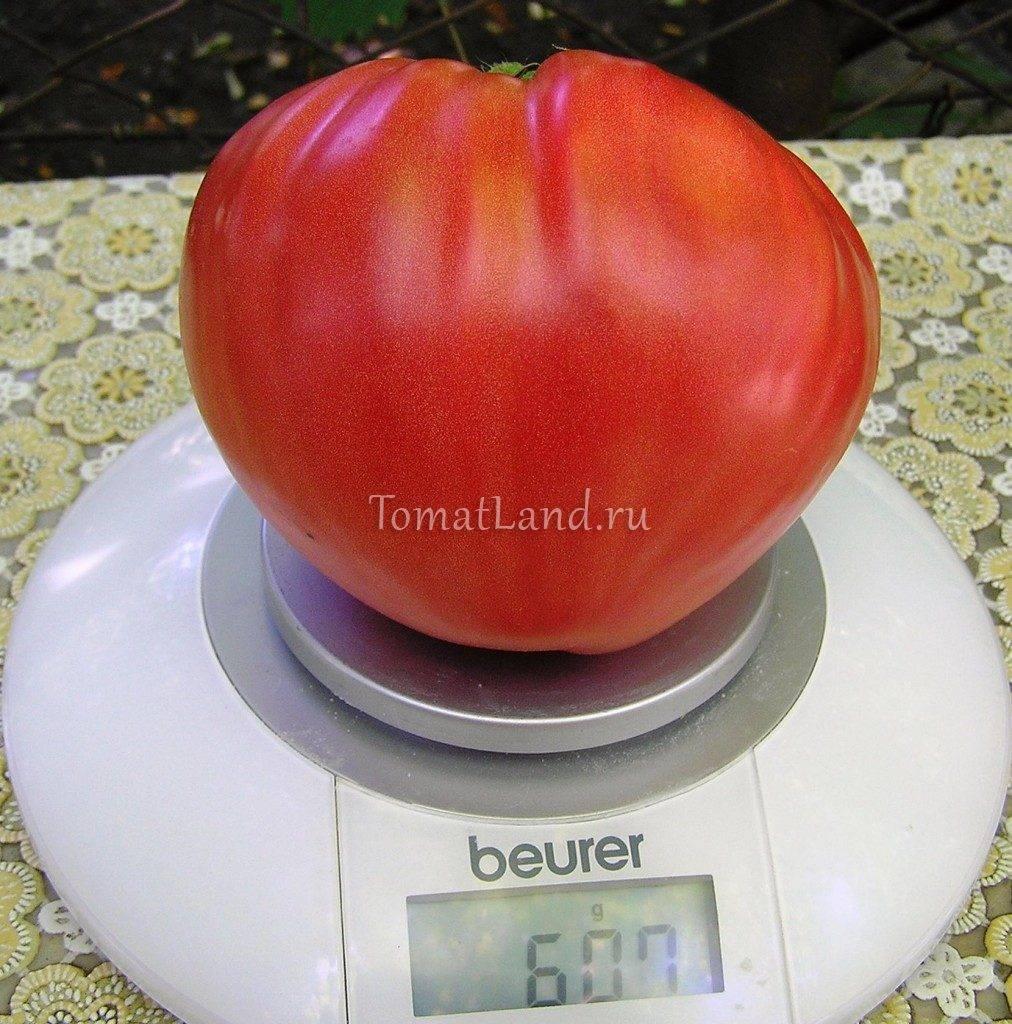 Сорт томата «дикая роза»: описание, характеристика, посев на рассаду, подкормка, урожайность, фото, видео и самые распространенные болезни томатов
