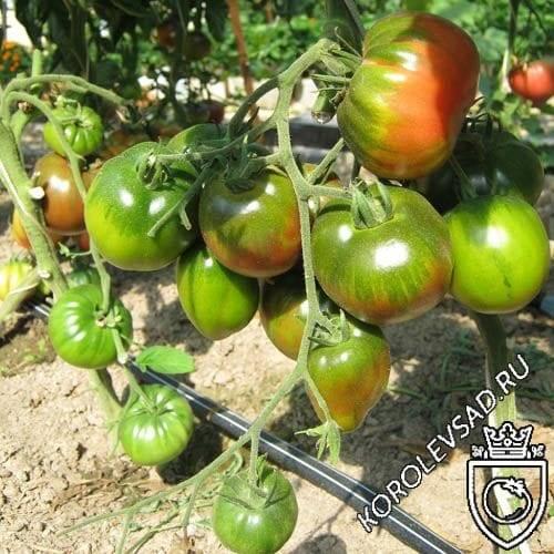 Отличный столовый сорт томата, с необычной расцветкой — помидор «цыган»