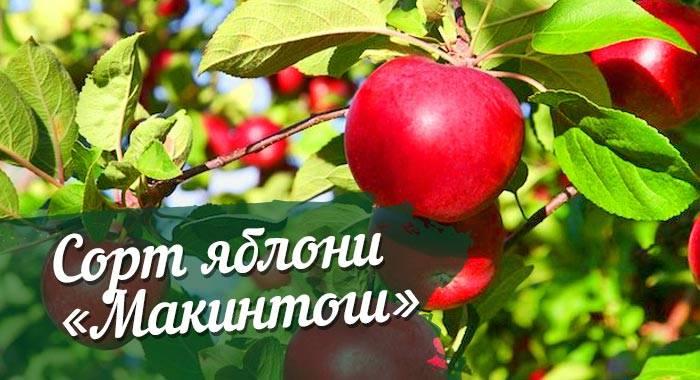 Лучшие зимние сорта яблонь для разных регионов