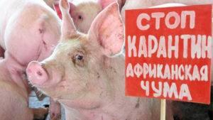 Признаки появления вшей у свиней и методы диагностики гематопиноза, лечение