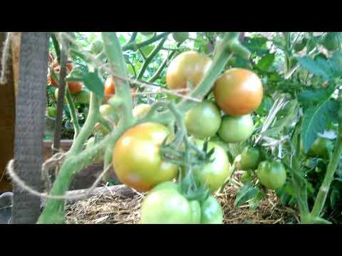 Описание сорта томата весна севера, его выращивание и урожайность