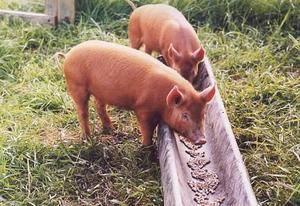 Что есть свинья: кормление pic, чем питается, сколько раз в день кормить поросят