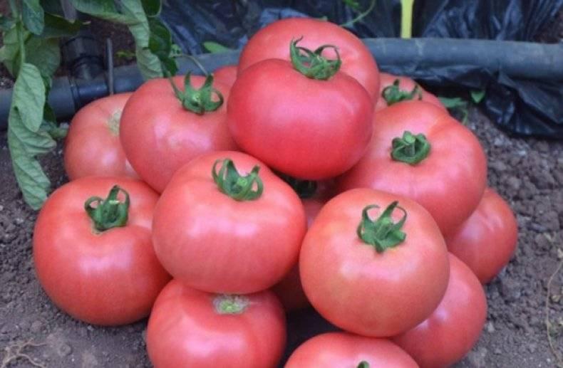 Выращивание томата роза ветров