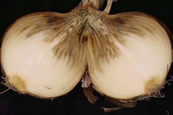 Выращивание лука на перо в открытом грунте и на подоконнике