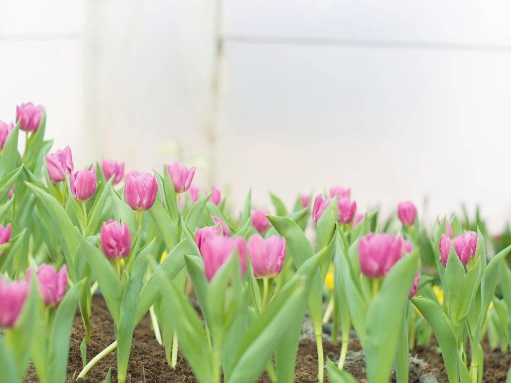 Когда можно пересаживать лилии: после цветения (осенью) или весной
