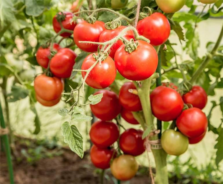 Выращивание томата интуиция