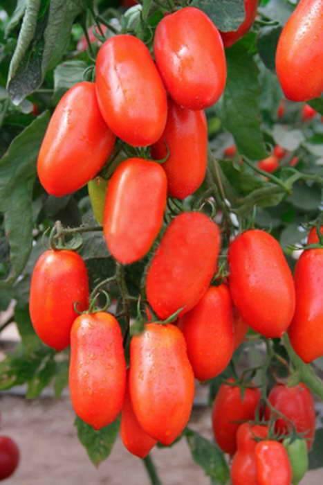 Сорт томата «сливка бендрика» для консервации: описание, характеристика, посев на рассаду, подкормка, урожайность, фото, видео и самые распространенные болезни томатов