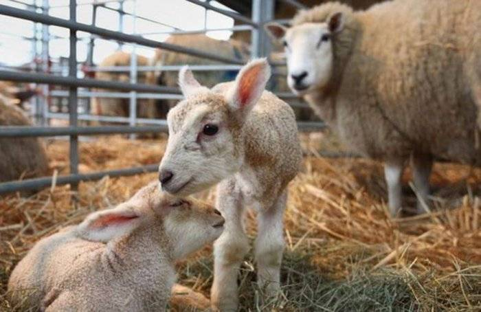 Беременность у козы: как ее определить и сколько месяцев длится