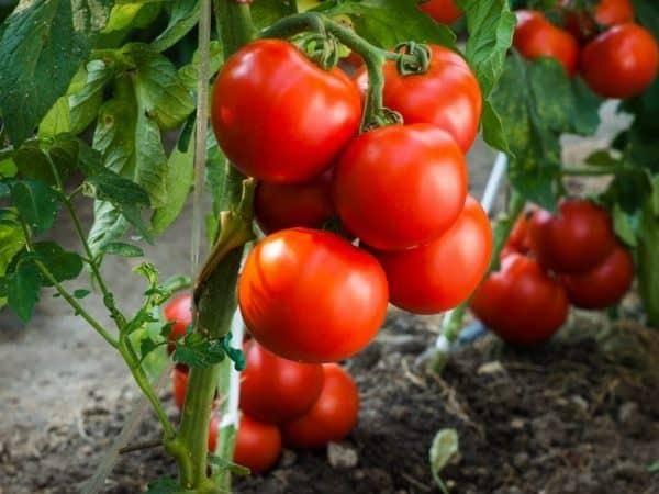 Описание сорта томата янтарный мед и его характеристики
