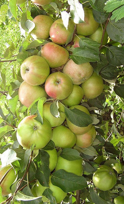 Васюган яблоня колоновидная: описываем суть
