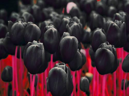 Описание сорта тюльпанов Дабл оф Бьюти Апельдорн, посадка и уход