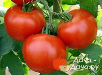 Описание сорта огурца шмель f1, его характеристика и урожайность