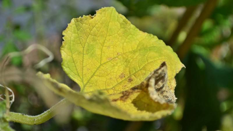 Почему рассада огурцов желтеет в теплице или парнике