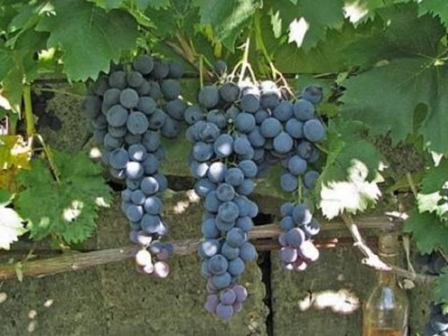 Виноград которому не страшен минус — сорт руслан