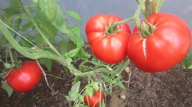 Оригинальный и высокоурожайный томат «царь колокол» — описание сорта, фото