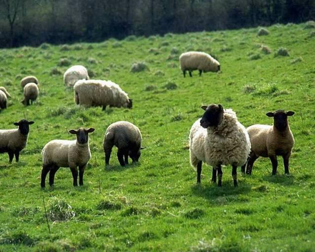 Что в домашних условиях едят овцы и бараны, рацион и нормы кормления