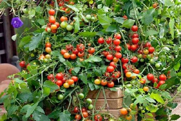 Описание сорта томата ослиные уши, его характеристика и урожайность