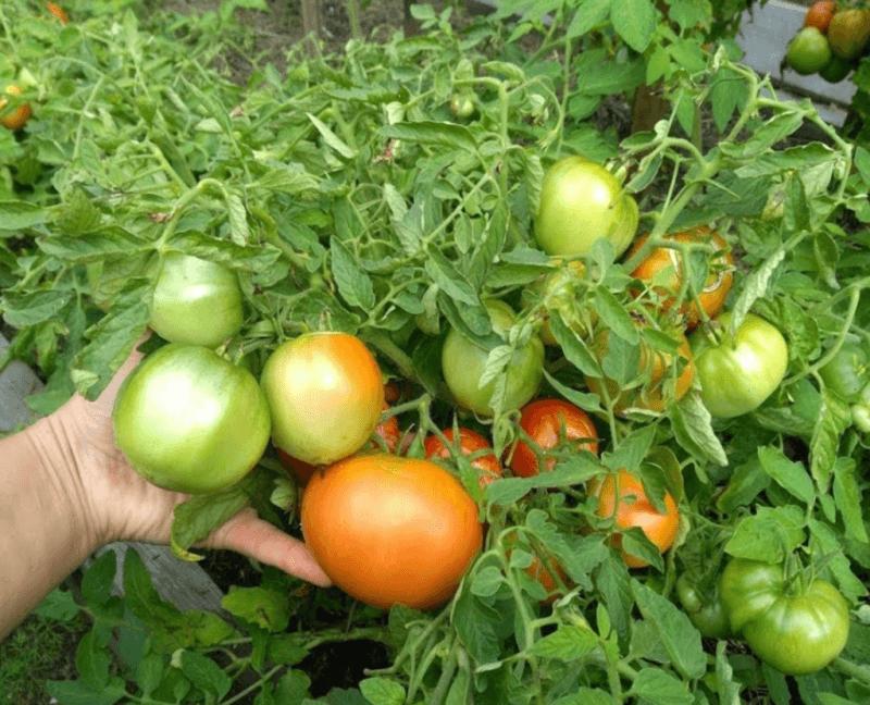 Характеристика и описание сорта помидор Т 34, его выращивание