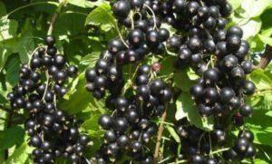 Махровость чёрной смородины - что делать