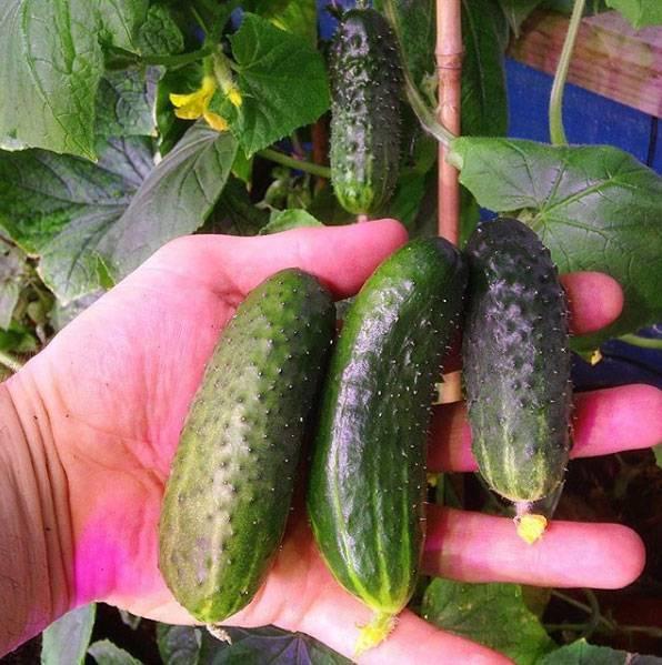 Как правильно подкармливать огурцы? виды и рецепты удобрений
