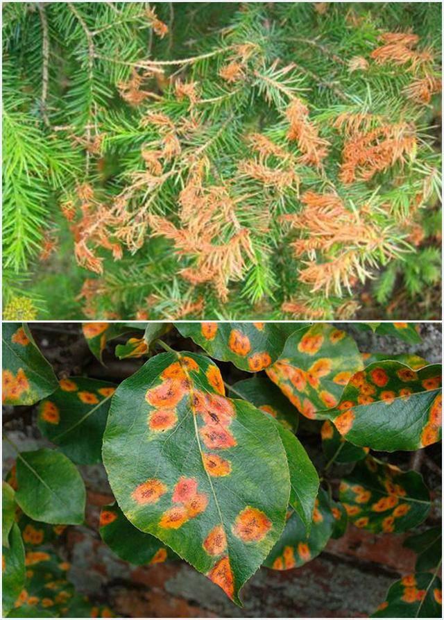 Что делать когда появляются желтые пятна на листьях груши