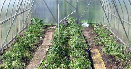 Уход за помидорами в дачной теплице из поликарбоната