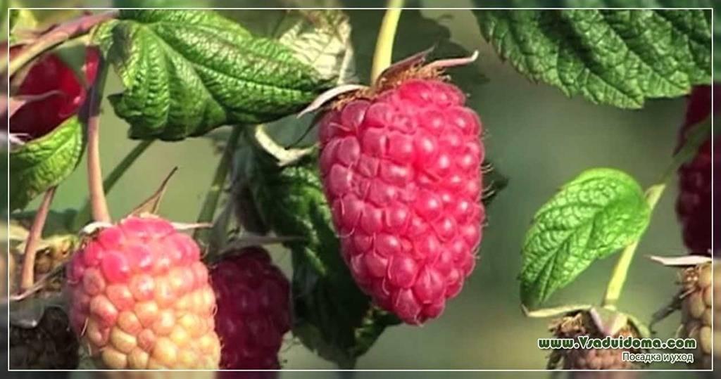 Лучшие сорта крупной, сладкой и ремонтантной малины для сибири с описанием