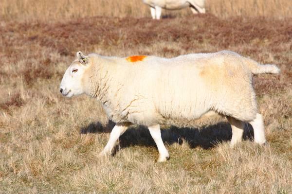 Как помочь овце во время родов