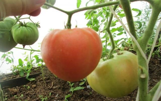 Бесподобный томат «андромеда» f1 : характеристики и описание сорта помидор, фото, особенности выращивания