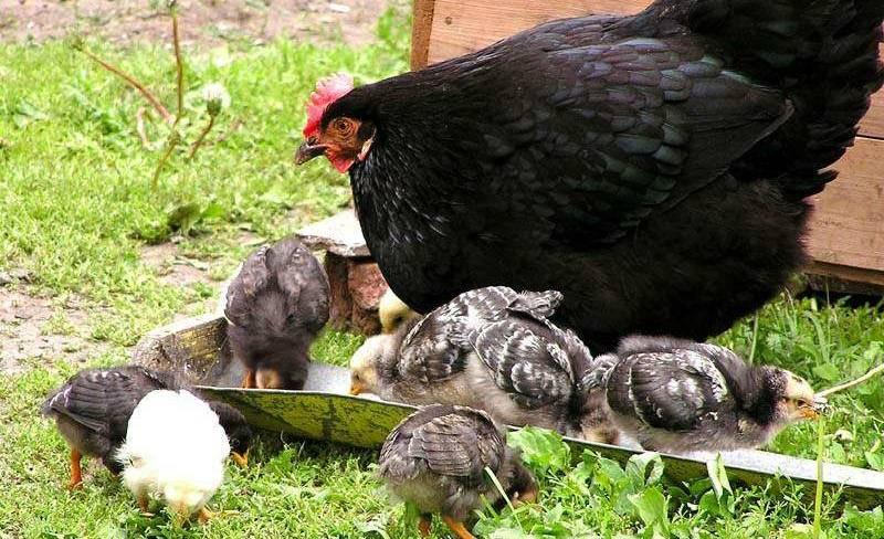 Сколько может прожить курица и что на это влияет?