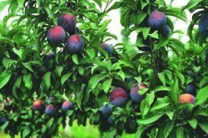 Причины осыпания зеленых плодов сливы