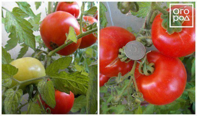 Новый аппетитный сорт томатов бабушкин секрет: описание сорта, фото, характеристика