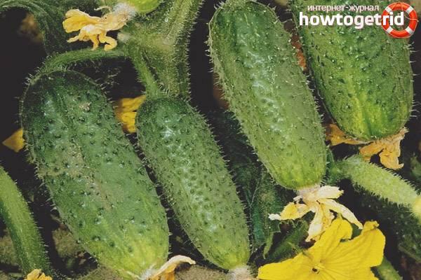 Описание сорта огурца седрик его характеристика и урожайность