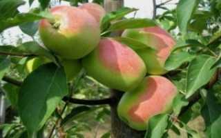 Яблоня президент: особенности сорта и ухода