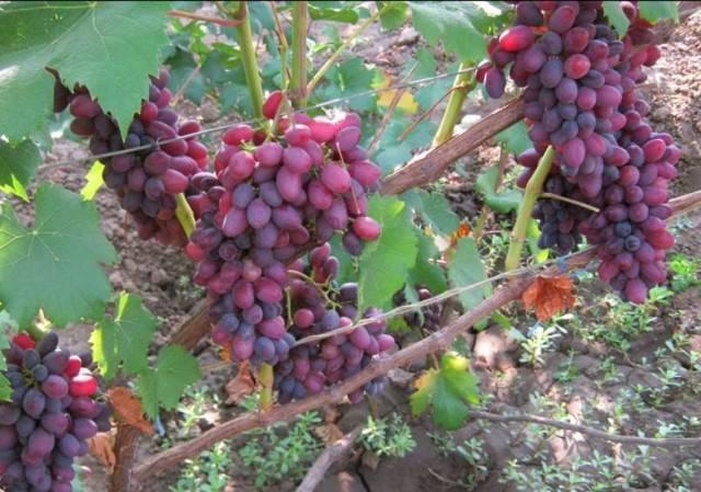 Виноград «юпитер»: описание сорта, фото и отзывы