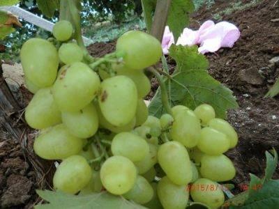 Сладкое создание ионийцев: виноград сорта аттика