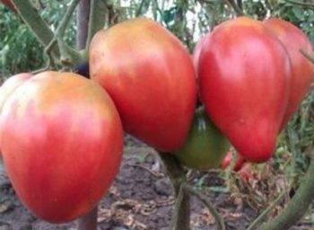Сорт томата абаканский розовый – его характеристика и особенности выращивания