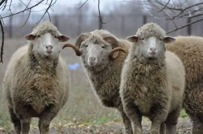 Виды классификации пород овец, по каким критериям разделяются и описание