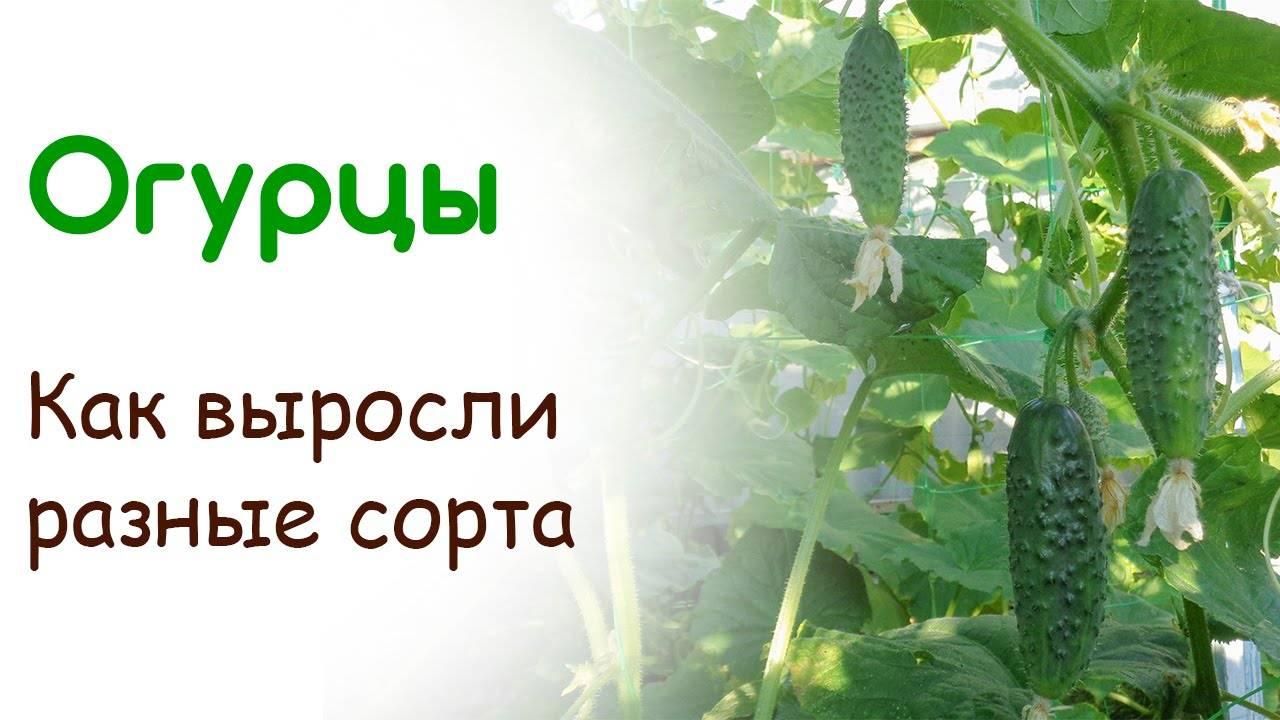 Об огурце марьина роща: описание и характеристики сорта, посадка и уход