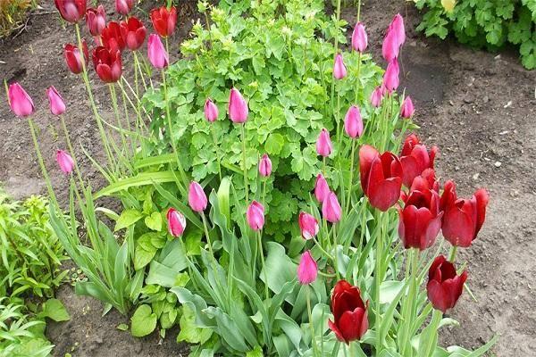 Посадка тюльпанов осенью: гид новичку