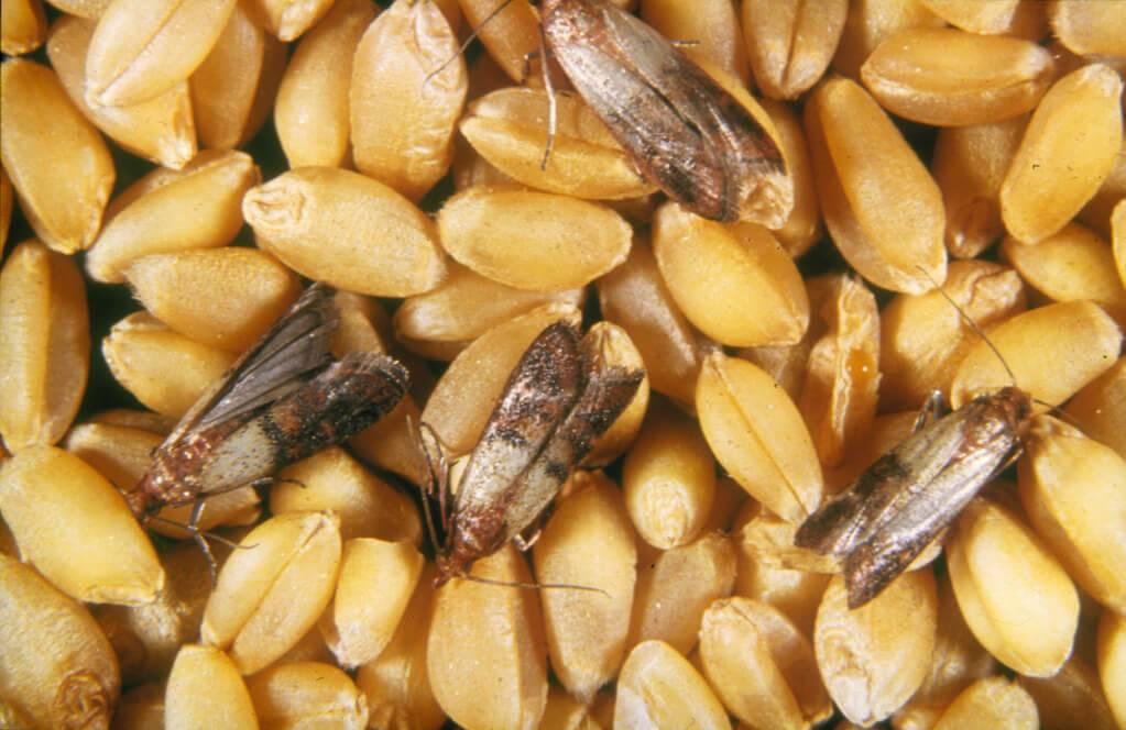 Причины и что делать, если в грецких орехах завелась моль